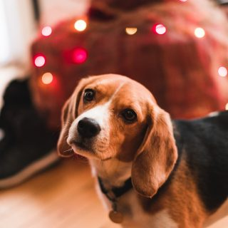 Beagle Training Tips: 5 Simple Ways To Train Your Dog