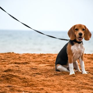 Healthy Beagle Diet: 5 Tips For The Perfect Diet