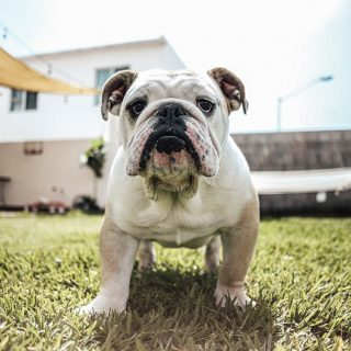 Bulldog Grooming Tips: 5 Ways To Have Your Dog Looking Fabulous