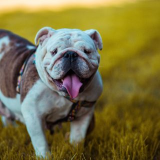 Healthy Bulldog Diet: 5 Tips For The Perfect Diet