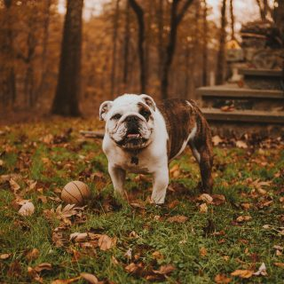 Bulldog Health: 5 Things You Can Do To Improve Your Dog's Life