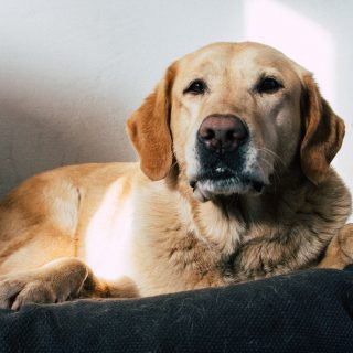 Golden Retriever Grooming Tips: 5 Ways To Have Your Dog Looking Fabulous