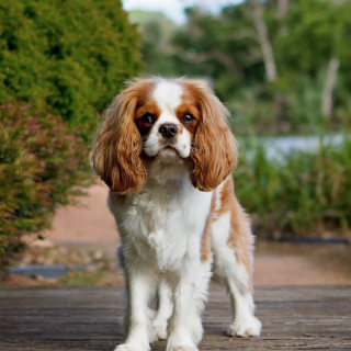 King Charles Health: 5 Things You Can Do To Improve Your Dog's Life