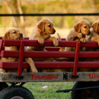 Golden Retriever Puppies: 5 Things To Look Out For When Getting Your Dog