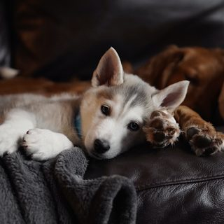 Husky Puppies: 5 Things To Look Out For When Getting Your Dog