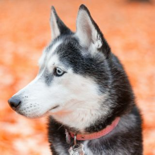 Husky Grooming Tips: 5 Ways To Have Your Dog Looking Fabulous