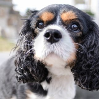 King Charles Grooming Tips: 5 Ways To Have Your Dog Looking Fabulous