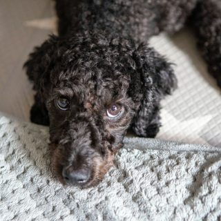 5 Interesting Poodle Facts