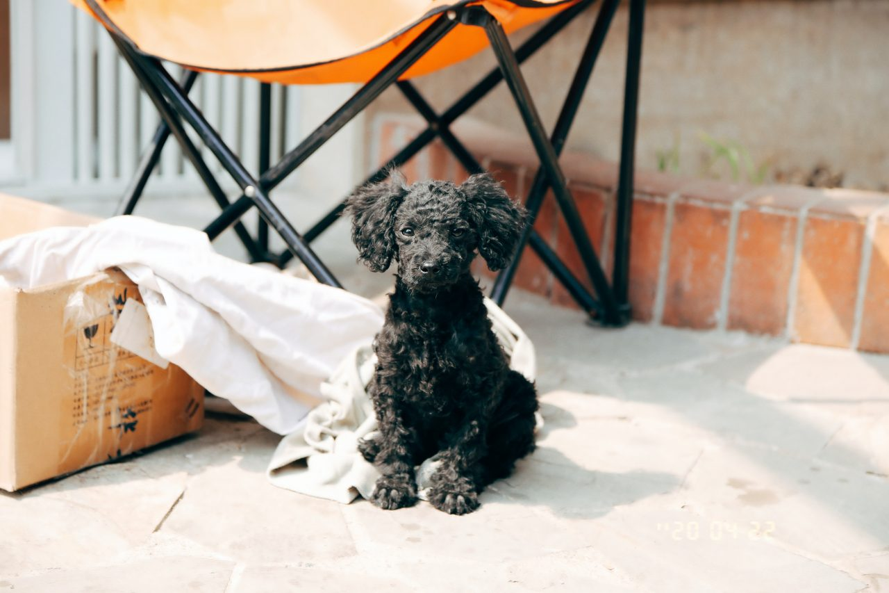 Interesting Poodle Facts