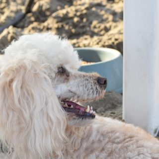 Healthy Poodle Diet - 5 Tips For The Perfect Diet