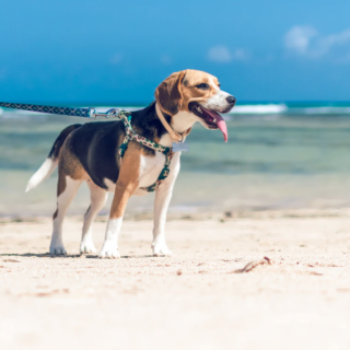 Beagle Grooming Tips: 5 Ways To Have Your Dog Looking Fabulous