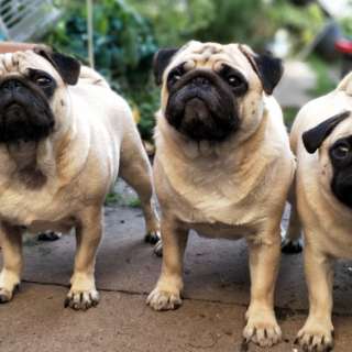Pug Training Tips: 5 Simple Ways To Train Your Dog