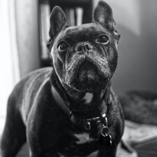 French Bulldog Grooming Tips: 5 Ways To Have Your Dog Looking Fabulous