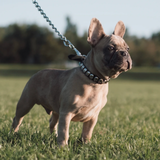 French Bulldog Training Tips: 5 Simple Ways To Train Your Dog