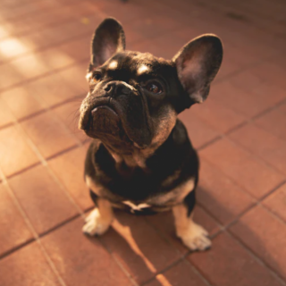 Healthy French Bulldog Diet: 5 Tips For The Perfect Diet