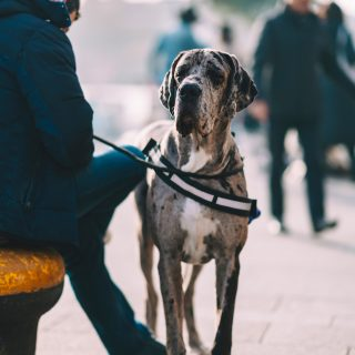 Great Dane Training Tips: 5 Simple Ways To Train Your Dog