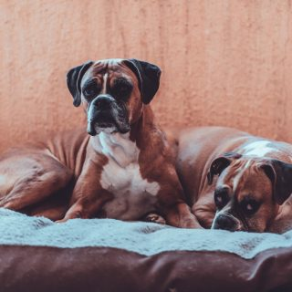 Boxer Grooming Tips: 5 Ways To Have Your Dog Looking Fabulous