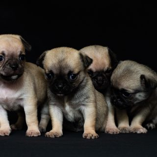 Pug Puppies: 5 Things To Look Out For When Getting Your Dog