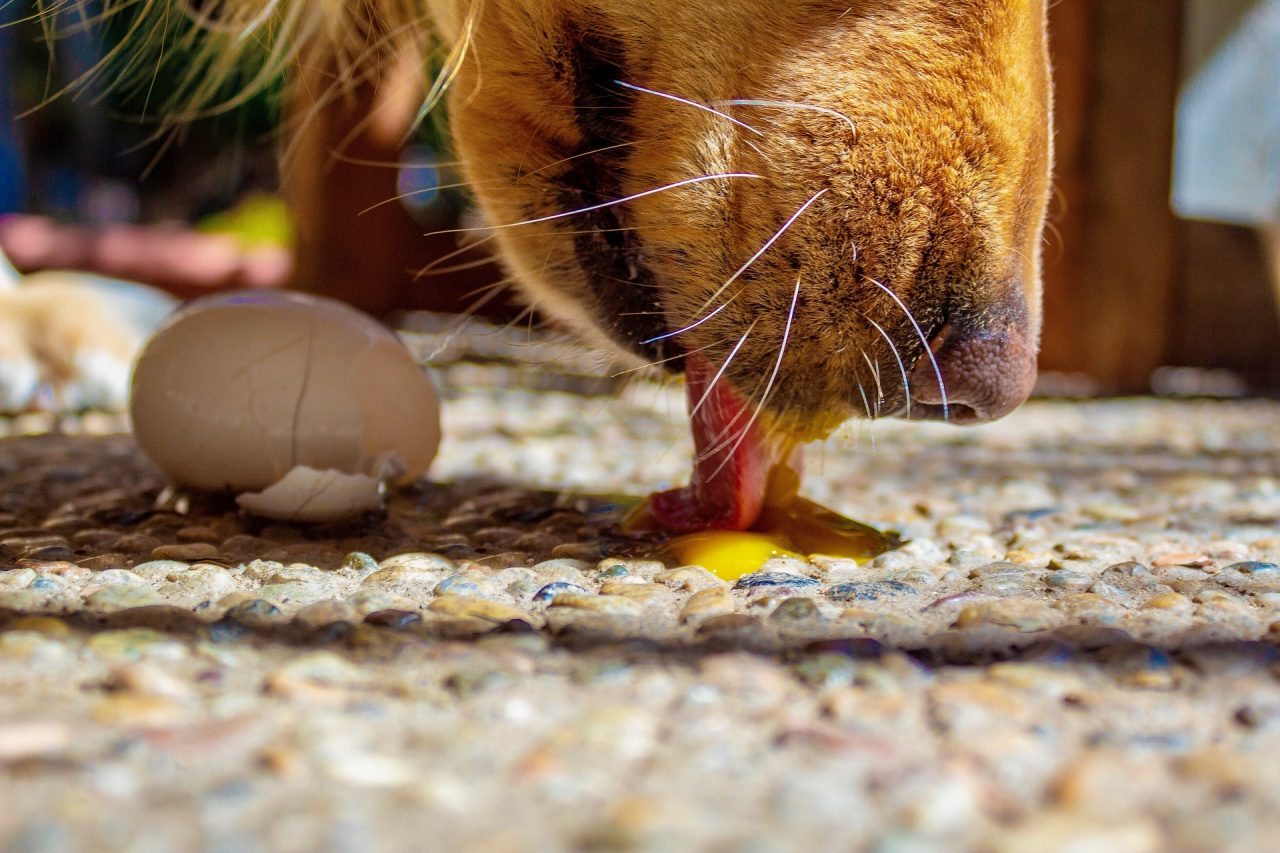 Avoid raw eggs for coat health in dogs