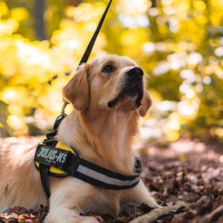 Golden Retriever Training Tips: 5 Simple Ways To Train Your Dog