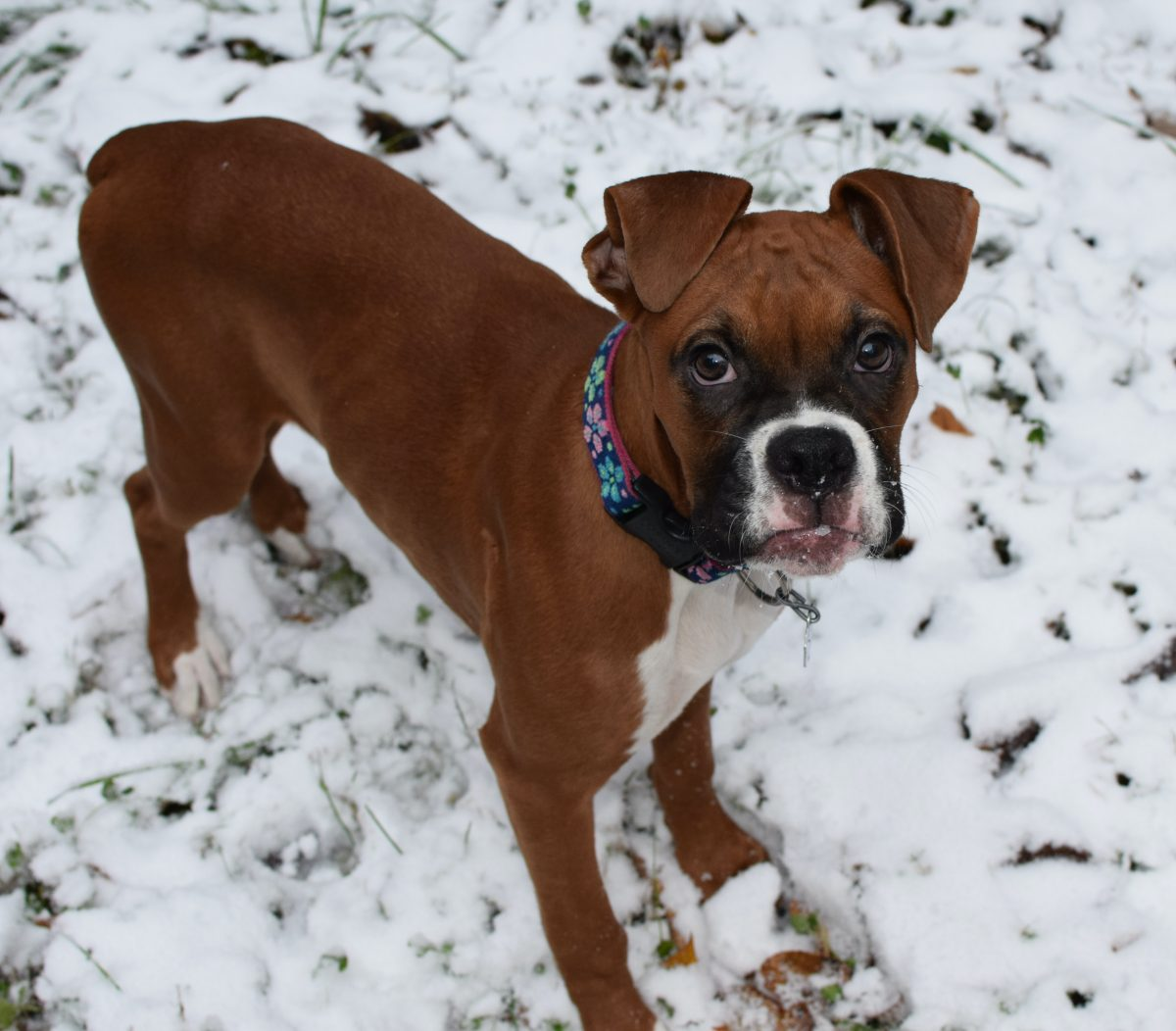 Boxer Grooming Tips