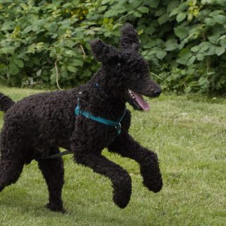 Poodle Grooming Tips - 5 Ways To Have Your Dog Looking Fabulous