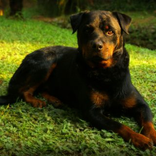 Rottweiler Training Tips - 5 Simple Ways To Train Your Dog