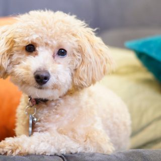 Poodle Training Tips - 5 Simple Ways To Train Your Dog