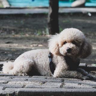 Poodle Health - 5 Things You Can Do To Improve Your Dog's Life