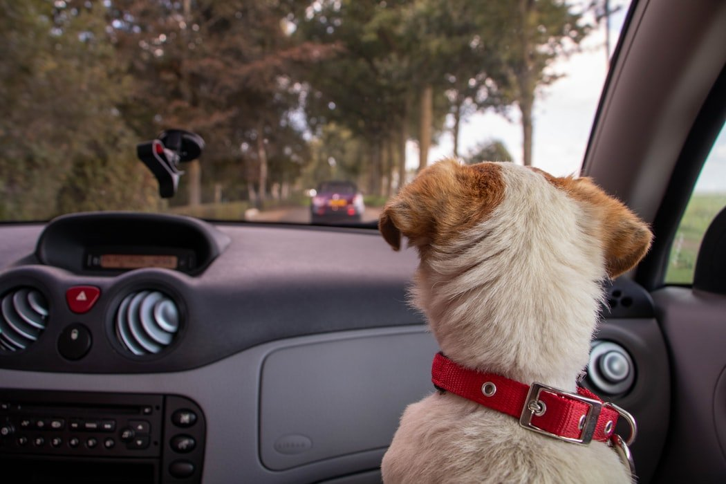 Dogs On Car Rides