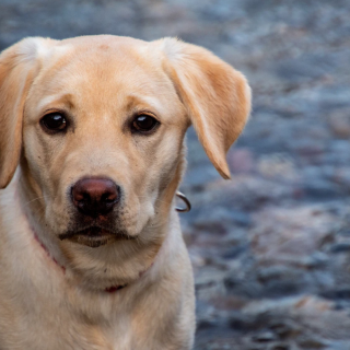 5 Labrador Accounts On Instagram You Should Be Following