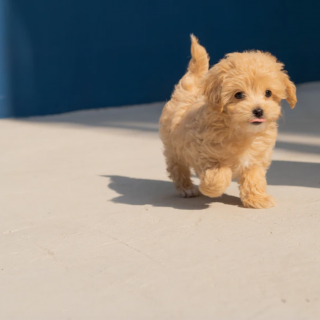 Cavapoo - The Complete Guide