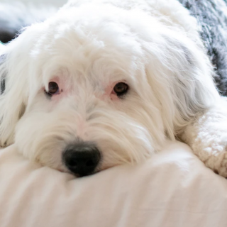 The Sheepadoodle - A Complete Guide
