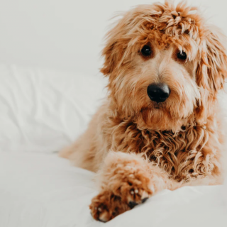 Goldendoodle - The Complete Guide