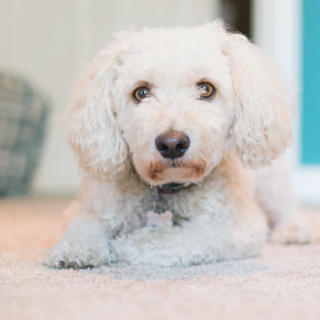 Labradoodle - The Complete Guide