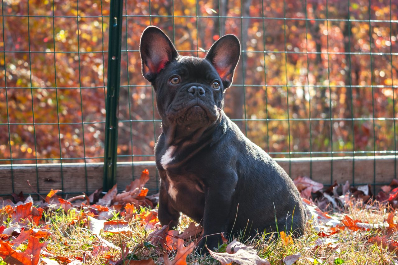 the 50 best french dog names