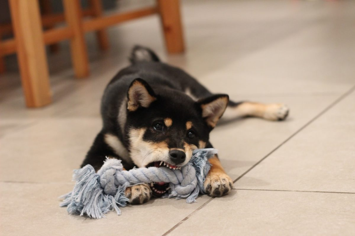 Puppy biting rope toy