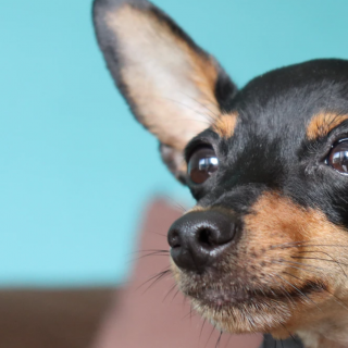 The 50 Best Chihuahua Names