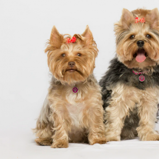 Yorkie Puppy - The Complete Guide