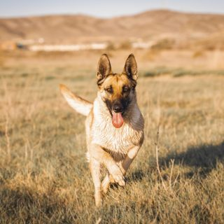 German Shepherd Puppies - 5 Things To Look Out For When Getting Your Dog