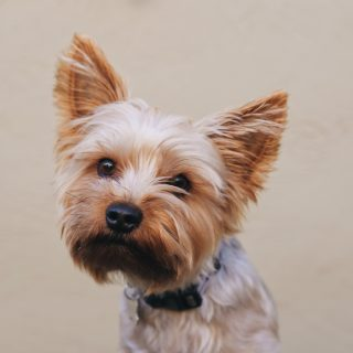 The 50 Best Yorkie Names