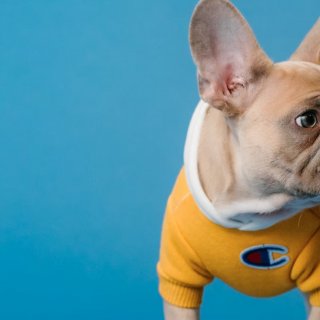 French Bulldog Puppies – The 50 Best Breeders In America